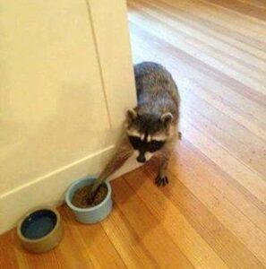 raccoon_in_house