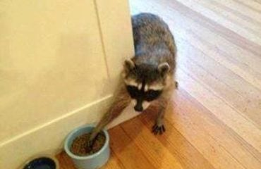 Hungry Raccoon | Any Pest Inc.