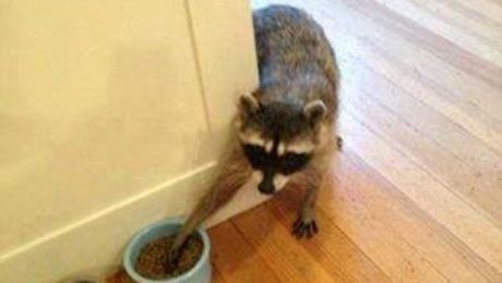 Hungry Raccoon | Any Pest Inc.
