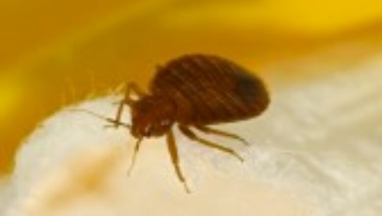 Bed Bugs   What You Need to Know