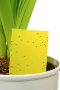 gnats/flies