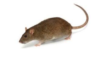 Rat   Any Pest Inc.