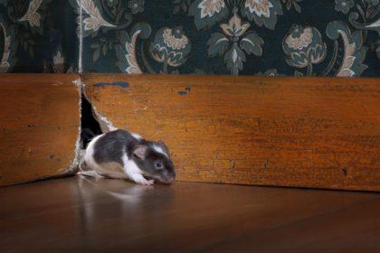 House Mouse   Any Pest Inc.