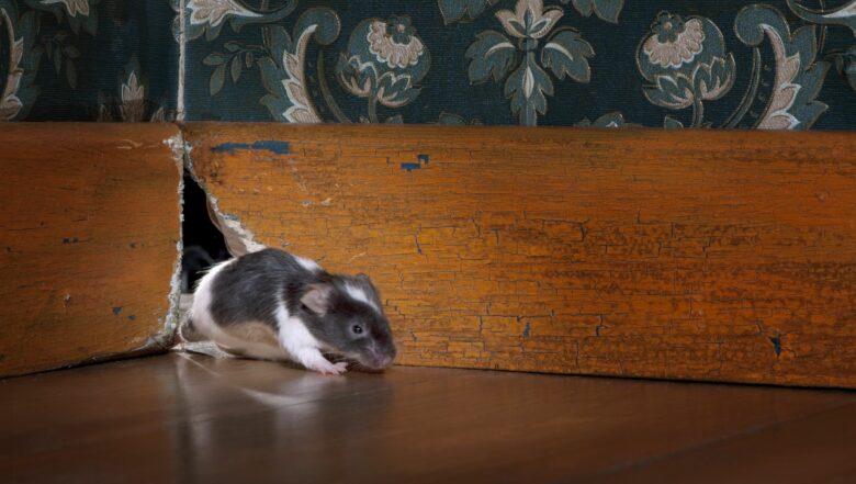 House Mouse | Any Pest Inc.