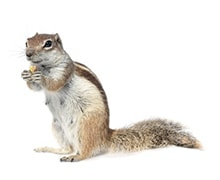 squirrel | Any Pest Inc.