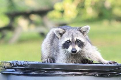 raccoon wildlife control
