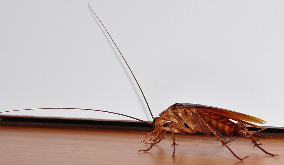 Cockroaches | Any Pest Inc.