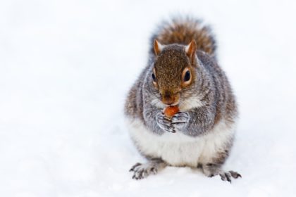 Winter Squirrel Eating Nuts in Snow | Any Pest Inc.