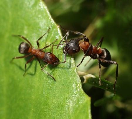 Spring Pests | ants