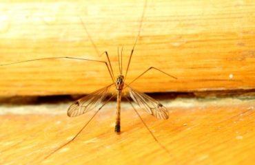 mosquito   Spring Pest Control