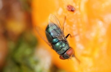 fruit fly summer pest control