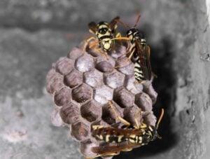 wasp nest | Any Pest