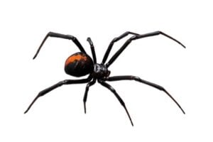 Black Widow | Any Pest Inc.
