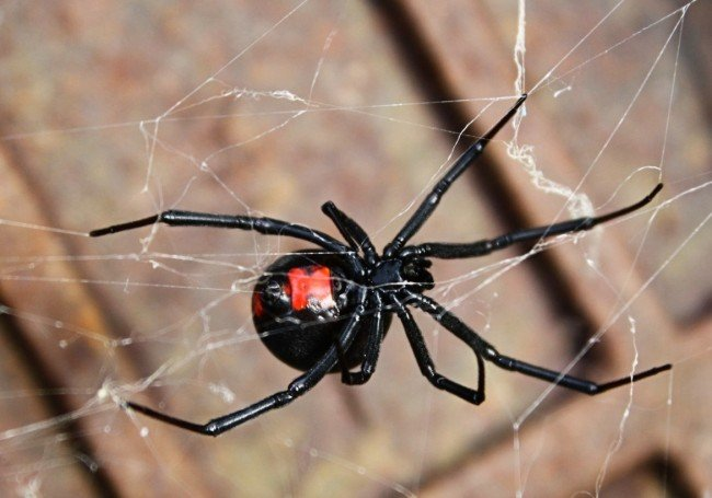 Black Widow Spider | Any Pest