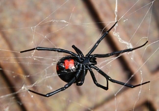 Black Widow Spider   Any Pest