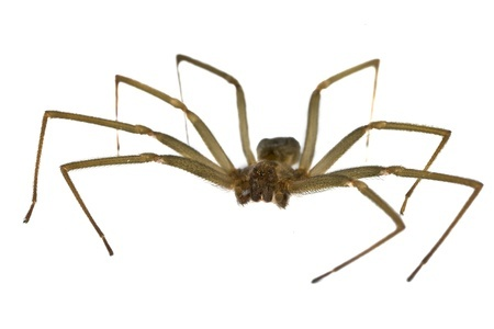 Brown Recluse Spider | Any Pest Inc.