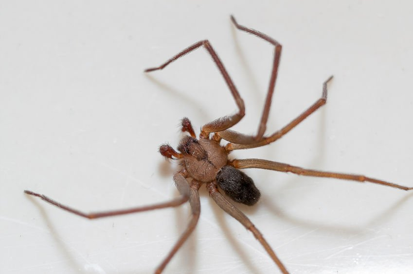 Brown Recluse Spider | Any Pest