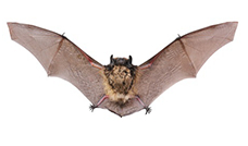 Bat | Winter Pest Control