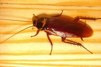 cockroach | Any Pest Inc.