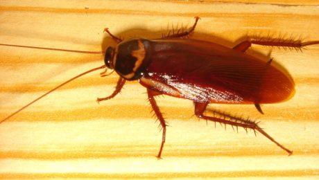 cockroach   Any Pest Inc.