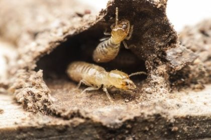 termite infestation | Any Pest Inc.