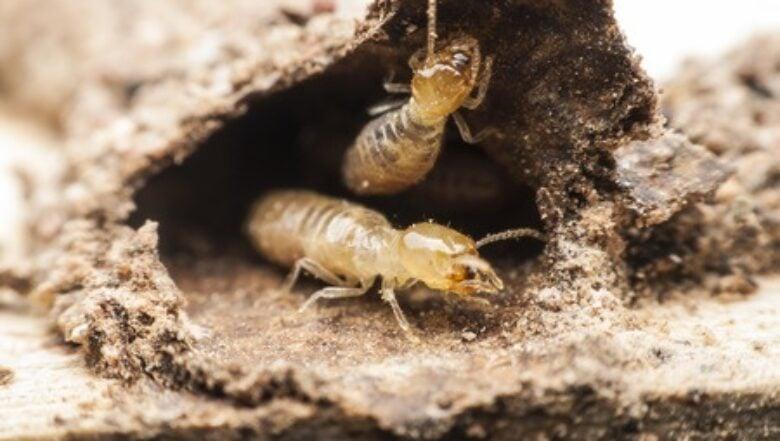 termite infestation | Any Pest Inc.