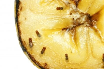 gnats and fruit flies   Any Pest Inc.
