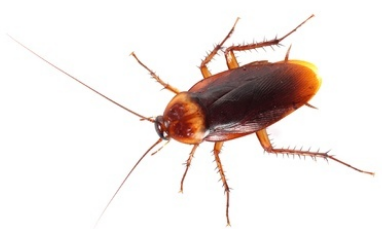 palmetto bugs   american cockroach