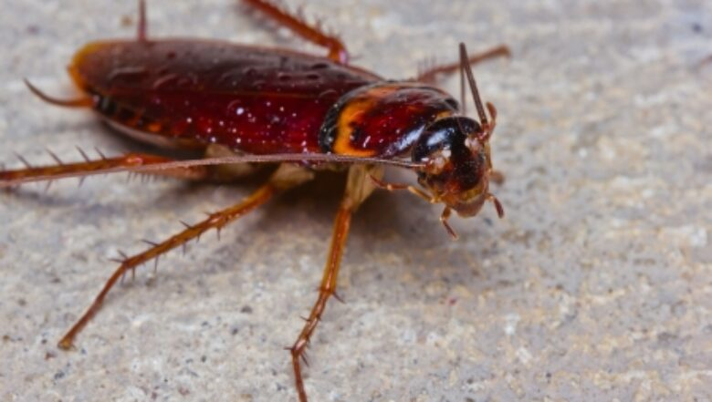 american cockroach | palmetto bugs | Any Pest Inc.