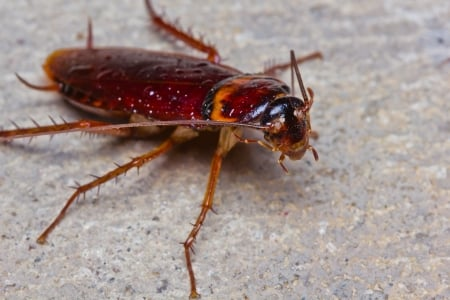 american cockroach   palmetto bugs