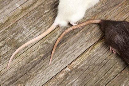 Fall Rodent Prevention | Any Pest Inc.