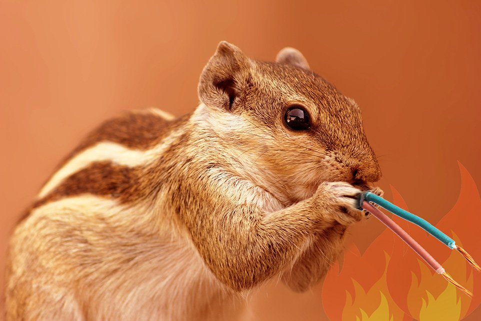 Squirrel Chewing Wire, Winter Pest Control Tips   Any Pest Inc.