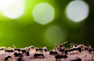 Group of Fire Ants Common Spring Pests   Any Pest