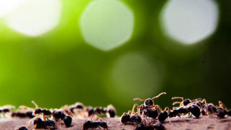 Group of Fire Ants Common Spring Pests | Any Pest