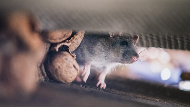 Roof Rat | Rodent Pest Control | Any Pest