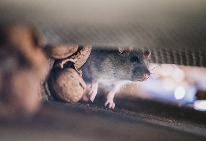 Rats in Roof | Spring Pest Control | Any Pest