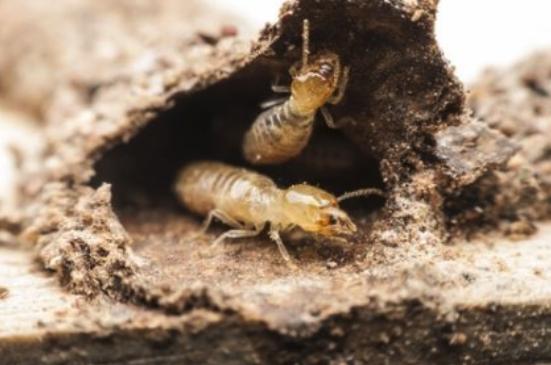 Termite | Spring Pest Control | Any Pest
