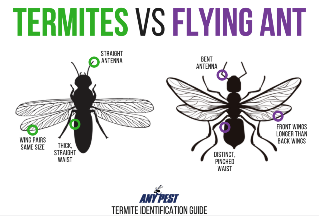 Termites vs Flying Ants Infographic | Any Pest