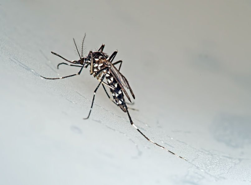 Asian Tiger Mosquito Any Pest