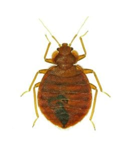 Close Up of What Bed Bug Looks Like