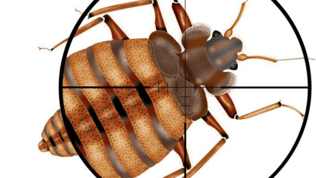 Close Up of What Bed Bugs Look Like | Any Pest Inc.