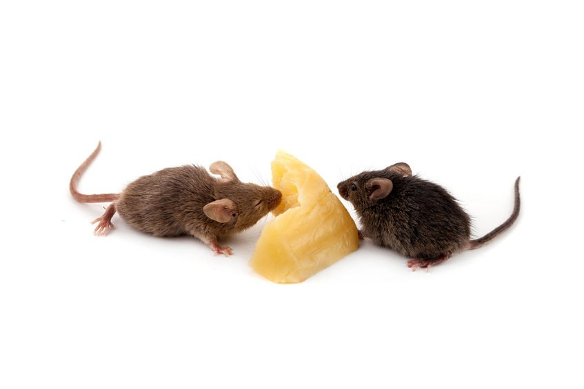 Mice Cheese   Any Pest