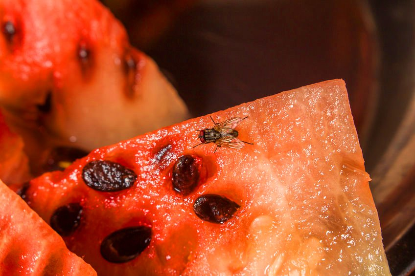 How to Get Rid of Fruit Flies Every Time | Any Pest Inc