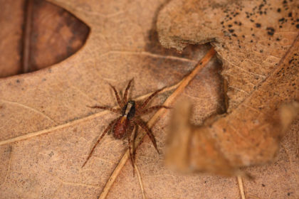 Wolf Spider   Fall Pest Control for Spiders