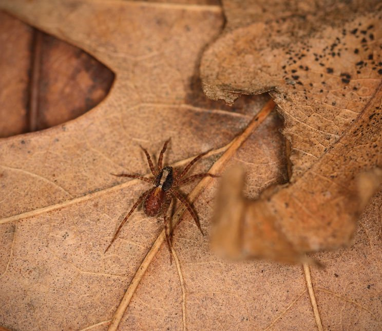Wolf Spider | Fall Pest Control for Spiders