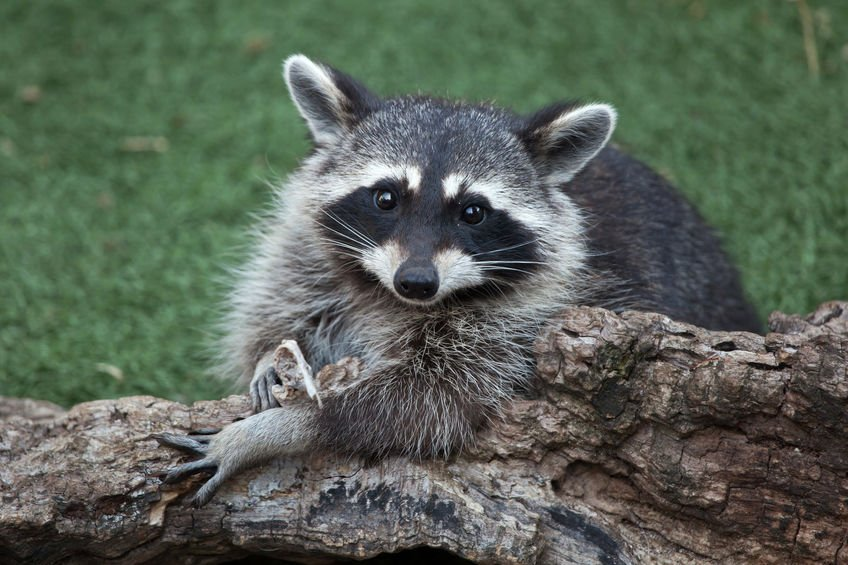 Raccoon in House | Any Pest
