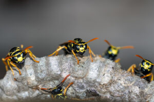 Yellow Jackets In Their Nest | Any Pest