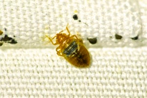 Bed Bug On Fabric   Any Pest Inc