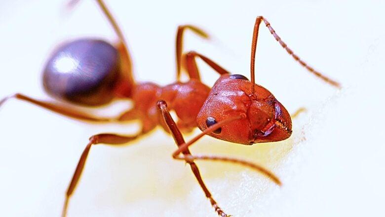 Fire Ants In Georgia | Any Pest Inc