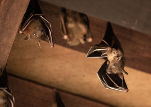 Bats Roosting In Attic | Any Pest